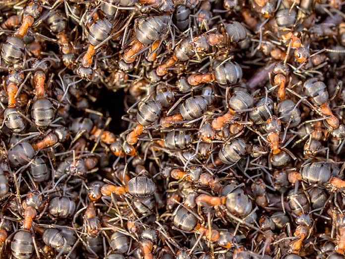 Μυρμήγκια - απεντόμωση μυρμηγκιών - Απεντομώσεις μυρμηγκιών