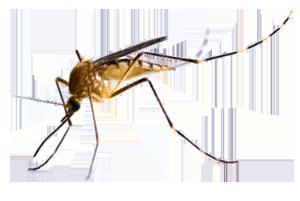 Απεντόμωση κουνουπιών - κουνούπια - εξόντωση κουνουπιών