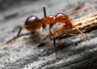 Απολύμανση σπιτιού για μυρμήγκια - απεντόμωση σπιτιού για μυρμήγκια