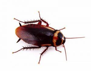 Απολύμανση σπιτιού για κατσαρίδες - απεντόμωση σπιτιού για κατσαρίδες