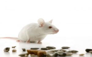 Απολυμάνσεις για ποντίκια - Απολυμάνσεις ποντικιών - Απολύμανση ποντικιών
