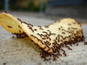 Απολυμάνσεις μυρμηγκιών στην κουζίνα