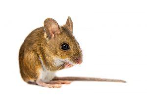 Απολύμανση σπιτιού για ποντίκια στην Αθήνα με οικονομικές τιμές