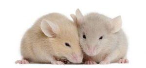 Απολυμάνσεις για ποντίκια - Απολύμανση για ποντίκια